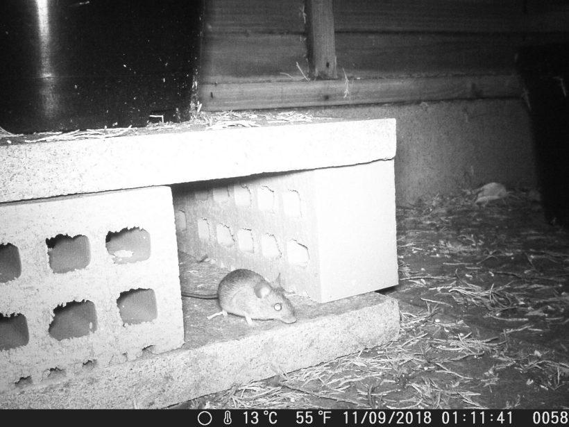 field mouse – weekend wildlife